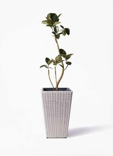 観葉植物 フィカス バーガンディ 8号 曲り ウィッカーポット スクエアロング OT 白 付き