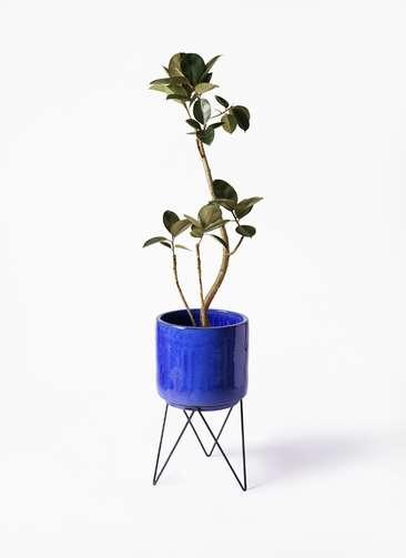 観葉植物 フィカス バーガンディ 8号 曲り ビトロ エンデカ 鉢カバースタンド付 ブルー 付き