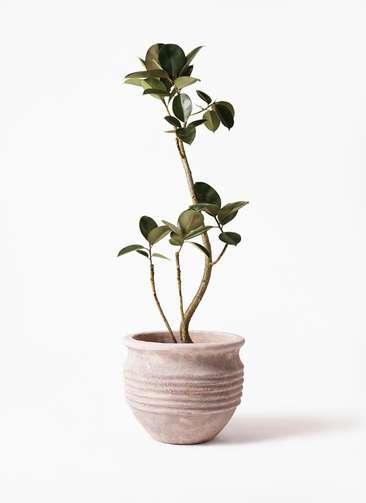 観葉植物 フィカス バーガンディ 8号 曲り テラアストラ リゲル 赤茶色 付き