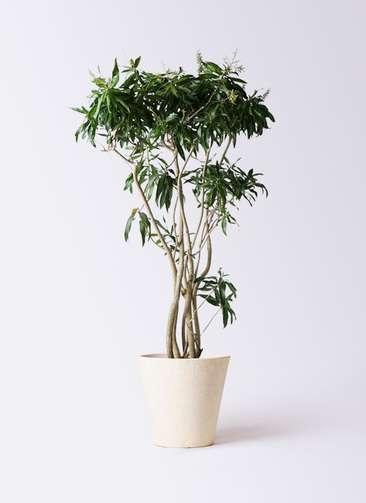 観葉植物 ドラセナ ソング オブ ジャマイカ 10号 フォリオソリッド クリーム 付き
