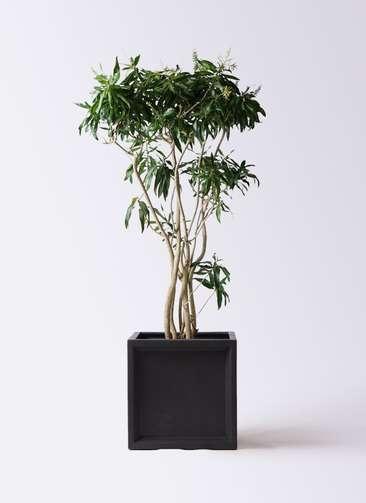 観葉植物 ドラセナ ソング オブ ジャマイカ 10号 ブリティッシュキューブ 付き