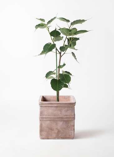 観葉植物 インドボダイジュ 8号 テラアストラ カペラキュビ 赤茶色 付き