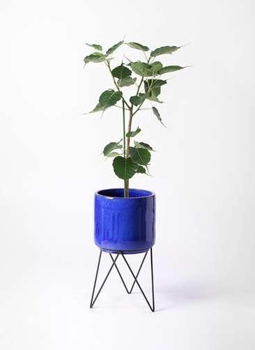 観葉植物 インドボダイジュ 8号 ビトロ エンデカ 鉢カバースタンド付 ブルー 付き