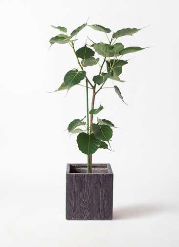 観葉植物 インドボダイジュ 8号 ベータ キューブプランター ウッド 茶 付き