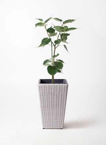 観葉植物 インドボダイジュ 8号 ウィッカーポット スクエアロング OT 白 付き