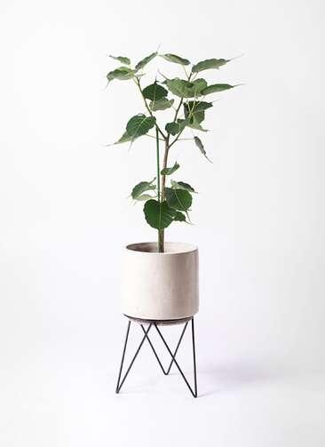 観葉植物 インドボダイジュ 8号 ビトロ エンデカ 鉢カバースタンド付 クリーム 付き