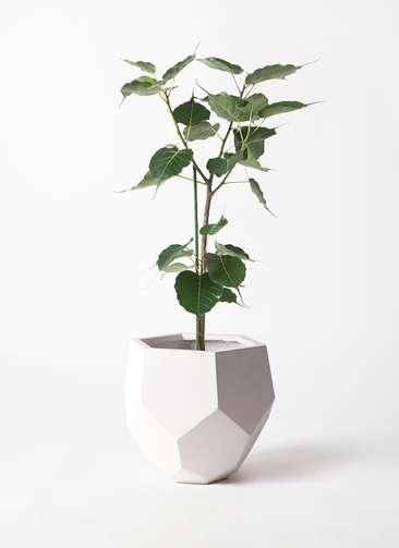 観葉植物 インドボダイジュ 8号 ポリゴヘクサ 白 付き