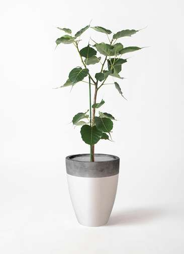 観葉植物 インドボダイジュ 8号 ファイバーストーンカプリ 白 付き