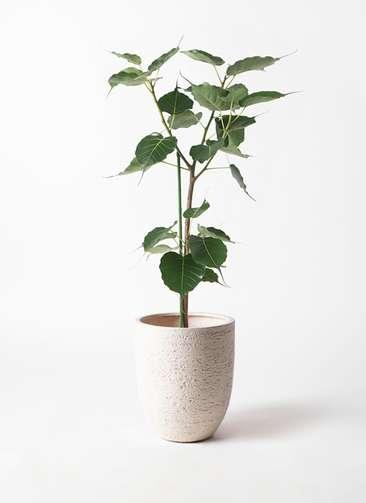 観葉植物 インドボダイジュ 8号 ビアスアルトエッグ 白 付き