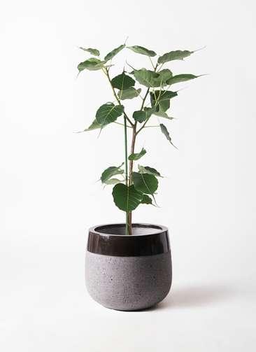 観葉植物 インドボダイジュ 8号 ファイバーストーンタウルス 黒 付き