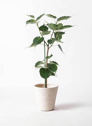 観葉植物 インドボダイジュ 8号 ビアスソリッド 白 付き