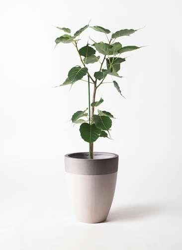 観葉植物 インドボダイジュ 8号 ファイバーストーンカプリ サンディホワイト 付き