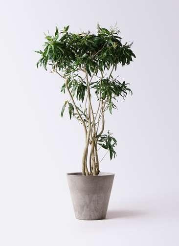 観葉植物 ドラセナ ソング オブ ジャマイカ 10号 アートストーン ラウンド グレー 付き