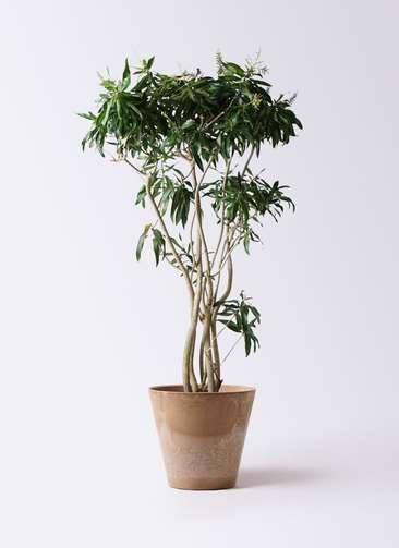 観葉植物 ドラセナ ソング オブ ジャマイカ 10号 アートストーン ラウンド ベージュ 付き
