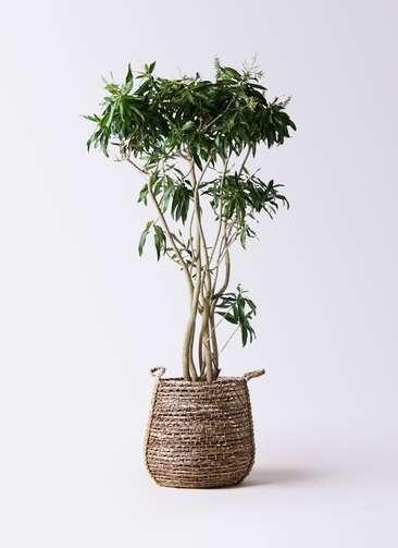 観葉植物 ドラセナ ソング オブ ジャマイカ 10号 リゲル 茶 付き
