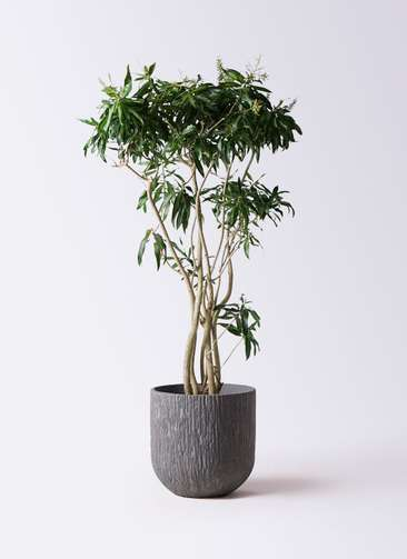 観葉植物 ドラセナ ソング オブ ジャマイカ 10号 カルディナダークグレイ 付き