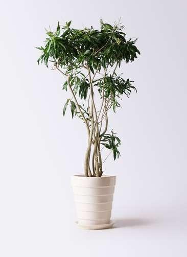 観葉植物 ドラセナ ソング オブ ジャマイカ 10号 サバトリア 白 付き