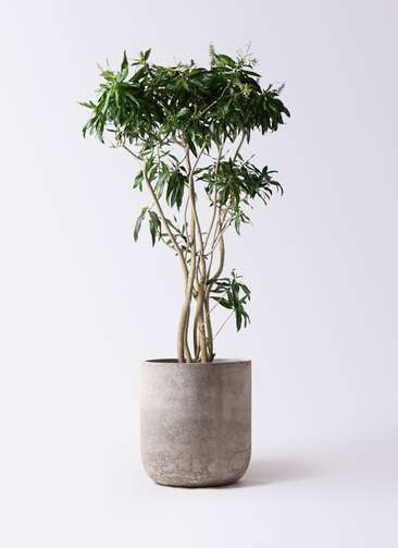 観葉植物 ドラセナ ソング オブ ジャマイカ 10号 エルバ 白 付き