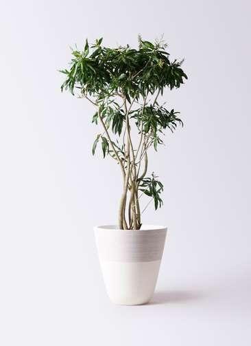 観葉植物 ドラセナ ソング オブ ジャマイカ 10号 ジュピター 白 付き