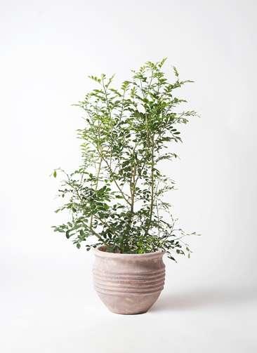 観葉植物 シルクジャスミン 8号 テラアストラ リゲル 赤茶色 付き