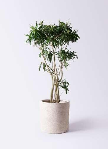 観葉植物 ドラセナ ソング オブ ジャマイカ 10号 サンディ シリンダー 白 付き