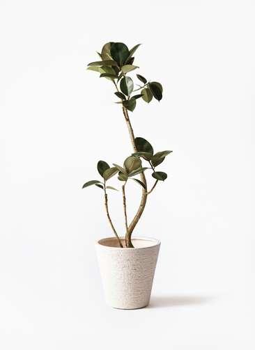 観葉植物 フィカス バーガンディ 8号 曲り ビアスソリッド 白 付き