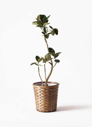 観葉植物 フィカス バーガンディ 8号 曲り 竹バスケット 付き
