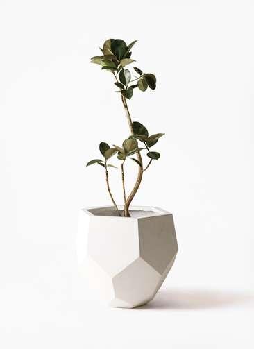 観葉植物 フィカス バーガンディ 8号 曲り ポリゴヘクサ 白 付き