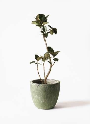 観葉植物 フィカス バーガンディ 8号 曲り アビスソニアミドル 緑 付き