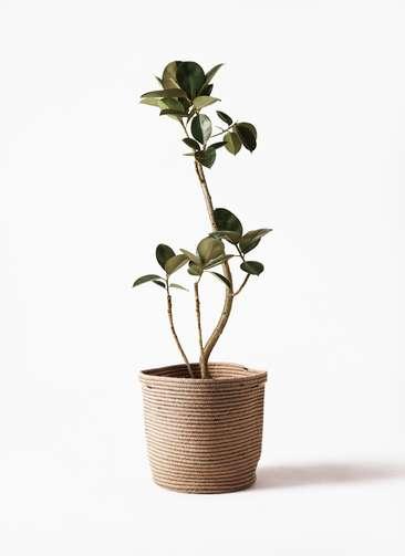 観葉植物 フィカス バーガンディ 8号 リブバスケットNatural 付き