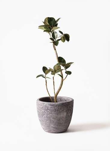 観葉植物 フィカス バーガンディ 8号 曲り アビスソニアミドル 灰 付き