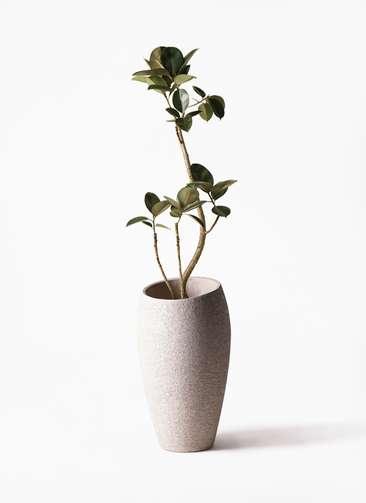 観葉植物 フィカス バーガンディ 8号 曲り エコストーントールタイプ Light Gray 付き