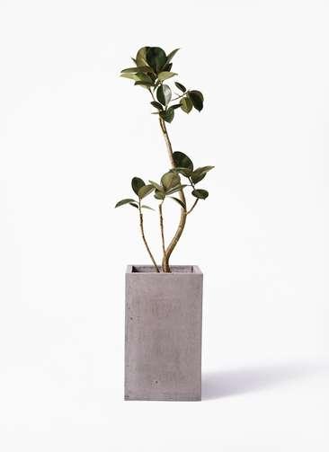 観葉植物 フィカス バーガンディ 8号 曲り セドナロング グレイ 付き