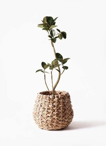 観葉植物 フィカス バーガンディ 8号 曲り ラッシュバスケット Natural 付き