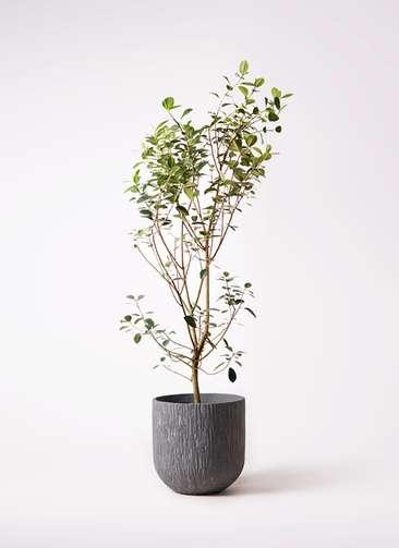 観葉植物 フランスゴムの木 10号 ノーマル カルディナダークグレイ 付き