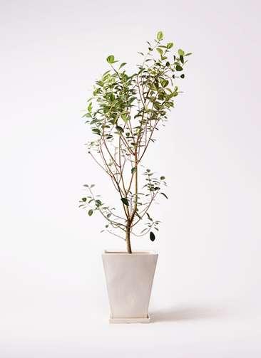 観葉植物 フランスゴムの木 10号 ノーマル スクエアハット 白 付き