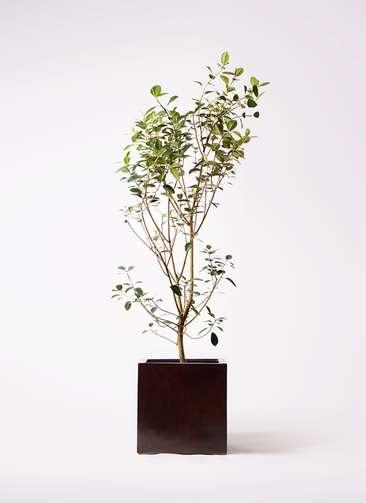 観葉植物 フランスゴムの木 10号 ノーマル MOKU キューブ 付き
