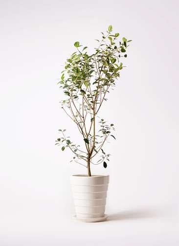 観葉植物 フランスゴムの木 10号 ノーマル サバトリア 白 付き