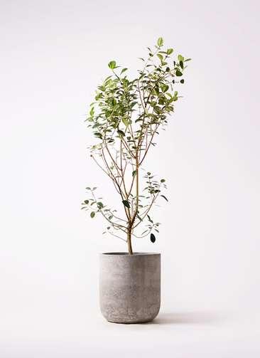 観葉植物 フランスゴムの木 10号 ノーマル エルバ 白 付き