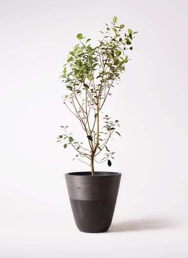 観葉植物 フランスゴムの木 10号 ノーマル ジュピター 黒 付き
