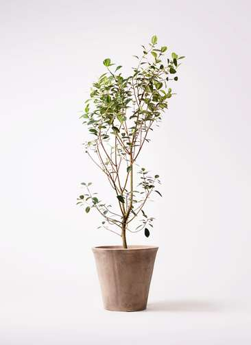 観葉植物 フランスゴムの木 10号 ノーマル ルーガ アンティコ ソリッド 付き