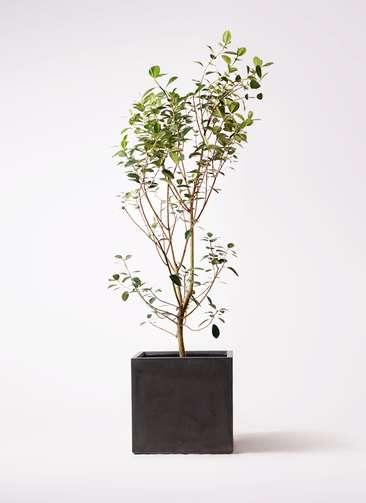 観葉植物 フランスゴムの木 10号 ノーマル ファイバークレイ キューブ 付き