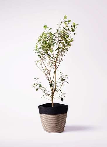 観葉植物 フランスゴムの木 10号 ノーマル リブバスケットNatural and Black 付き