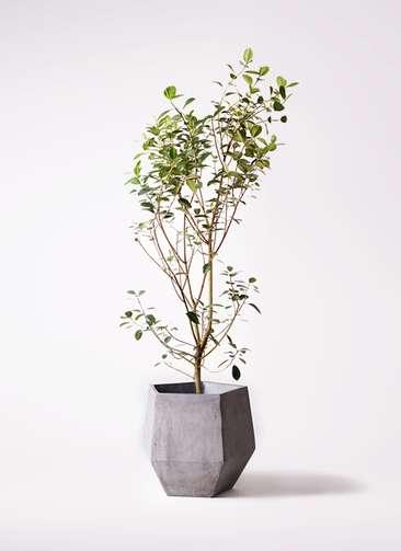 観葉植物 フランスゴムの木 10号 ノーマル ファイバークレイGray 付き