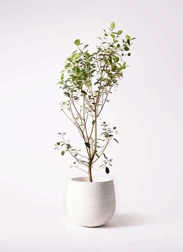 観葉植物 フランスゴムの木 10号 ノーマル エコストーンwhite 付き