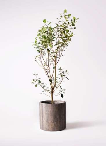 観葉植物 フランスゴムの木 10号 ノーマル アルファシリンダープランター 付き