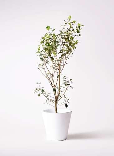 観葉植物 フランスゴムの木 10号 ノーマル フォリオソリッド 白 付き