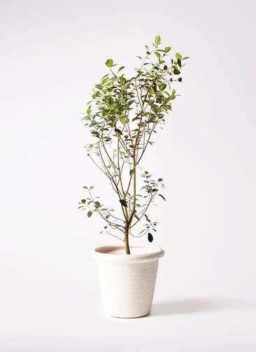観葉植物 フランスゴムの木 10号 ノーマル ビアスリムス 白 付き