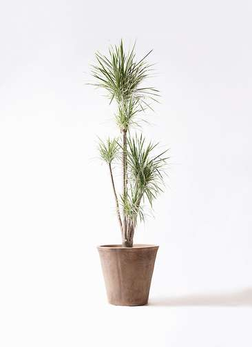 観葉植物 コンシンネ ホワイポリー 10号 ストレート ルーガ アンティコ ソリッド 付き