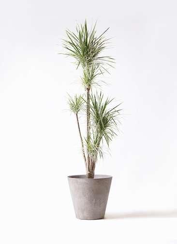 観葉植物 コンシンネ ホワイポリー 10号 ストレート アートストーン ラウンド グレー 付き